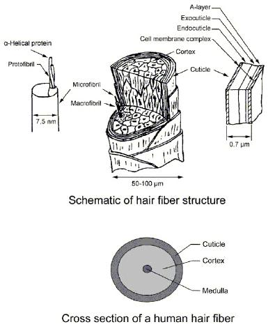 human hair is categorized into 3 major distinct groups according to enthnic  orgin: asian, caucasian, and african  the aims of this study are: (1) to  see the